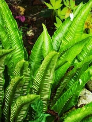 Asplenium scolopendrum