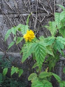 Kerria japonica (Jew's Mallow)