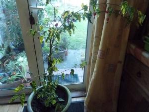 Abutilon megapotamicum 'variegatum'