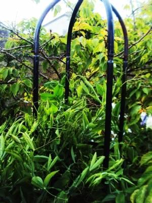 Myrtle's perennial sweet pea