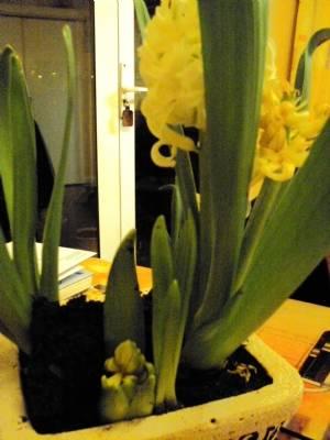 Hyacinth Again