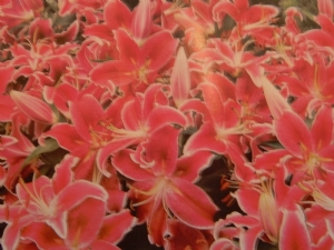 Lily 'Dazzler'