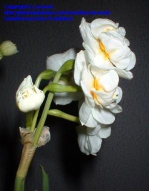 Narcissi 'Bridal Crown'