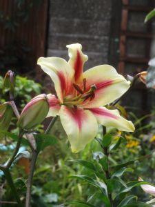 Lavon - Tree Lily
