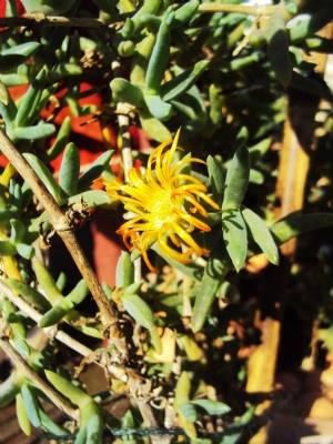 Mesembryanthemum?