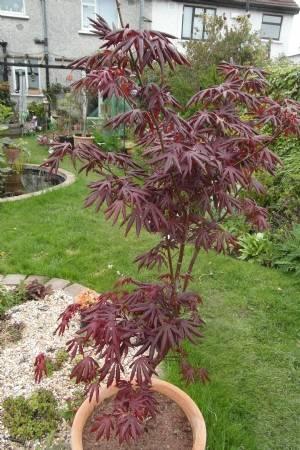 Acer palmatum 'Trompenbourg' (a little toughie)