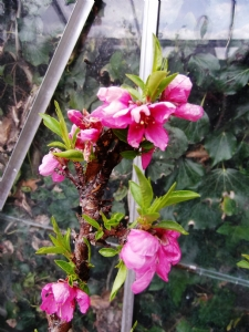 Peaches hand-pollinated