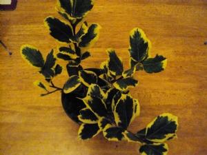 Ilex altaclerensis 'Golden King'