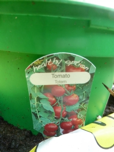 Tomato 'Totem' (maybe tomorrow)