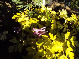 Corydalis 'Berry Exciting'  (thanks, Margaret??)