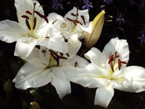Last of the lilies