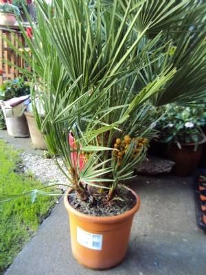 Chaemarops humilis (Chusan Palm)