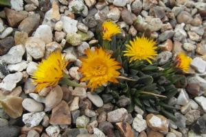 Mesianthrum lampranthus misifolia opens today