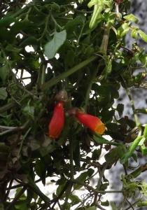 Eccremocarpus 'Tresco Hybrid'