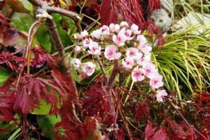 Acer palmatum 'Garnet' and Darmera peltata