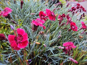 Dianthus 'Red Dwarf'