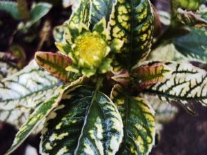 Heliopsis 'Lorraine'