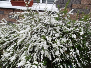 Spirea 'Bridal Wreath'