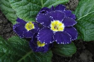 Primrose Close-up