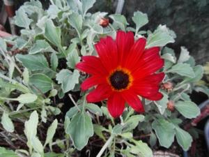 Arctotis still flowering