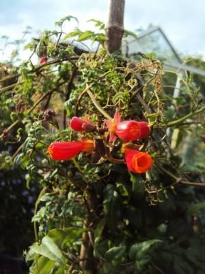 Eccremocarpus (Chilean Glory Flower) today...