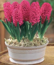 Planting out Hyacinths