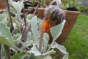 Arctotis getting ready to flower