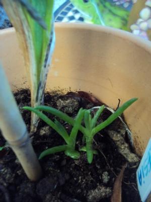 Lampranthus seedling (I think)