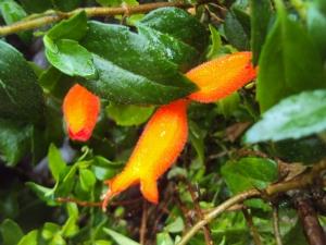 Mitraria coccinea (Mitre Bush)