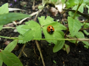 Ladybird in a weedy bed!