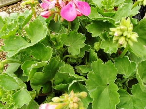 Zonal geranium 'Melosilver'