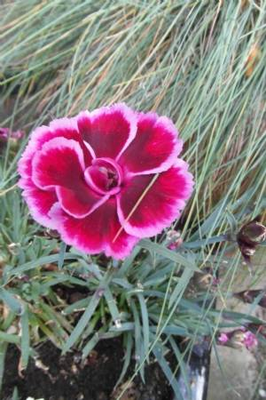 Dianthus 'Early Bird'