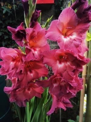'The Chocolate Gladiolus'