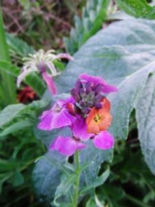 Erysimum linifoleum 'variegatum'