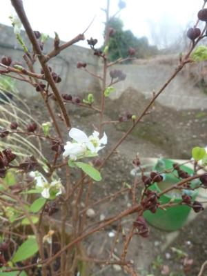 Exochorda flowering
