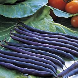 Dwarf Bean 'Purple Queen'
