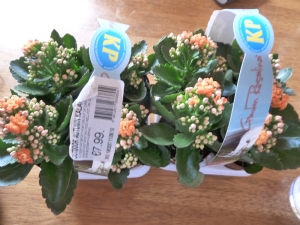 Autumn Outdoor Kalanchoe