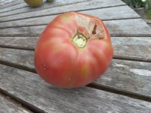 Tomato 'Pink Giant'