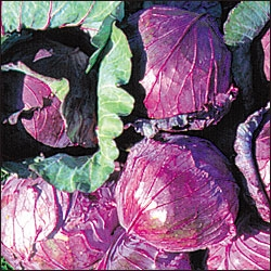 'Mammoth Red' Cabbage