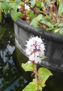Mentha aquatica (Watermint)
