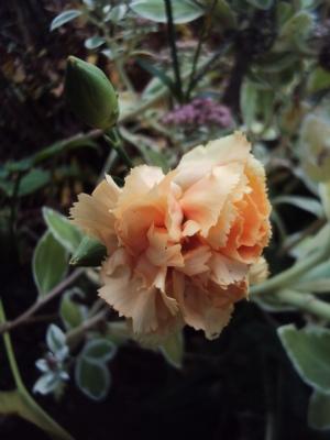 Kate's carnation