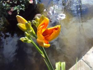 Hemerocallis 'Frans Hals' almost there