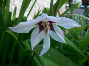 Acidenthera (you gorgeous thing of beauty!)