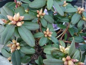 Rhododendron 'Ginny Gee' flower buds