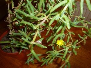 Mesembryanthemum or Lampranthus?
