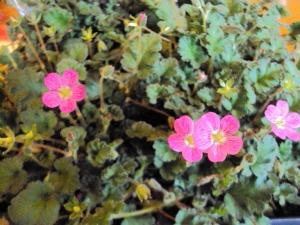 Erodium reichardii 'rosea' Hardy, or not?