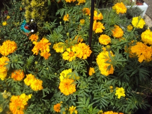 African marigold 'Crackerjack Mixed'