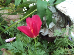 Californian poppy 'Carmine King'