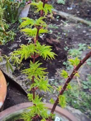 Acer palmatum 'Ribesifolium'
