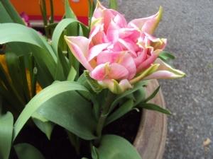 First Tulip